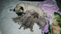 Purebred Pug Puppies - Just in time for Christmas!!!!