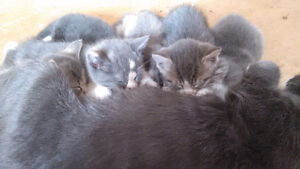 8 week old male and female kittens ready to go