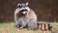 Racoon relocation