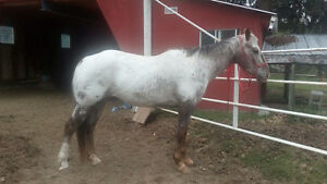 Appaloosa mare registered