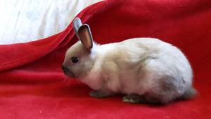 Baby Bunnies 8 wks Netherland Dwarf, Hol Lop,Double ManeLionhead