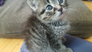 BENGAL MIXED KITTENS priced to rehome