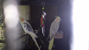 BREEDER COCKATIELS LARGE CAGE, BREEDER BOX, ACCESSORIES
