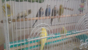 Budgies for sale (Reduced price )   $12 each