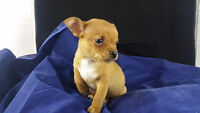 CHIHUAHUA PUPPIES, TEACUPS, GREAT PRICE, READY FEB 08