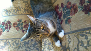 Free 2 year old female tabby
