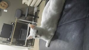 Beautiful white female cat for nice home