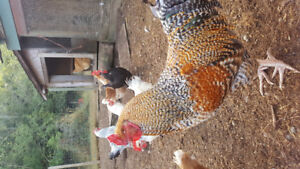 Rooster and breeding flock
