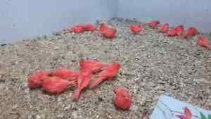 Breeder blowout on Red factor canary's! !