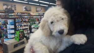 Golden doodle puppy ready furever homes