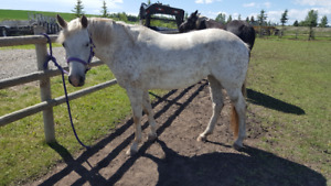 Papered 7 yr. old POA (Pony of America)