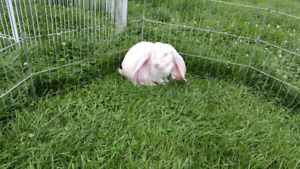 Frosted pearl male English lop rabbit named Trix