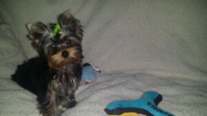 Gorgeous Top Quality Pure Bred Male CKC Yorkie