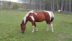 Beautiful 9 Year Old Paint Gelding  (no papers)