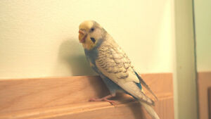Lost Budgie - May 22, 2017
