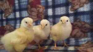 White rock Bantams and mix  chicks