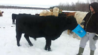 3 Good Working Bulls For Sale