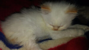 Small Flame Point RAGDOLL male