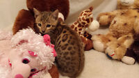 BY THE VALLEY BENGAL KITTENS FOR SALE