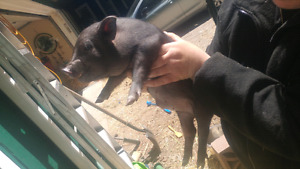 Mini pot belly pig 9 weeks