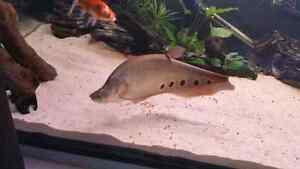 16 inch Clown Knife Fish London Ontario image 3