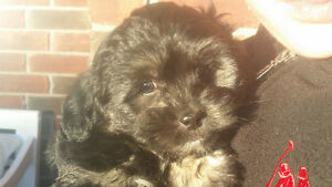 Shih Poo male Murpy ready today nonnshedding