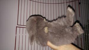 Bébés lapins Bélier Hollandais ( Bélier Nain )