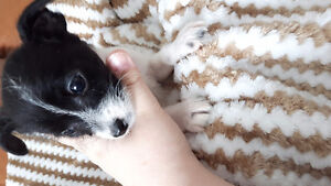 TEACUP Chiots Chihuahua-caniche