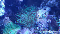 Bubble tip / purple tip / electric green tentacle anemone coral
