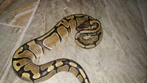 Python royal femelle
