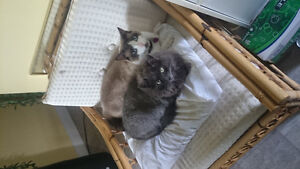 Missing!!! Male grey and white cat Kawartha Lakes Peterborough Area image 6