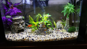 Fluval Vista 16 with Red Beta, Orange Molly and 3 cherry barbs