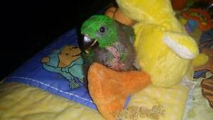 Eclectus Baby Hand Reared Male Happy Valley Morphett Vale Area Preview