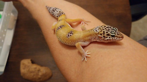 Young Leopard Geckos looking for New Homes