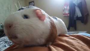Male Guinea Pig with accessories