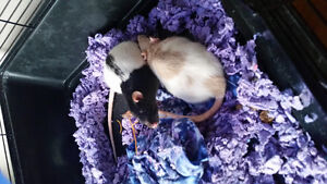 2 female rats and all they're stuff