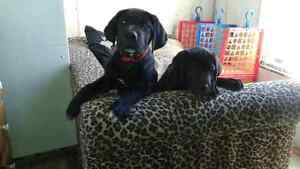 only**2 Black Daniff Puppies left*