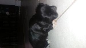 ADORABLE SHIHTZU/YORKIE Puppies!!