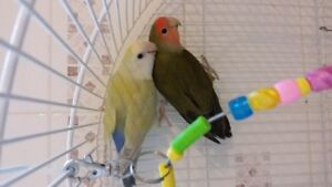 Six Young Love Birds Ready for Re-homing