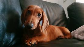 Amazing dachshund boy kc registered