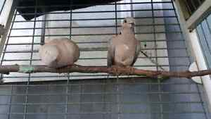 Ring neck Doves Breeding pair with two offspring