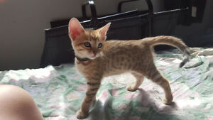 Available this weekend! Bengal Kittens