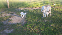 LaMancha Goat with two buck kids (Mini Nubian/LaMancha crosses)