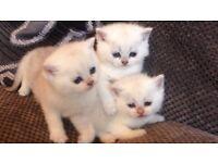 British shorthair full pedigree chunky kittens
