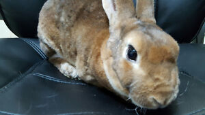 Looking for a Sweet & Soft Pet Bunny to Add to Your Family?