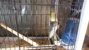 Male Cockatiel.