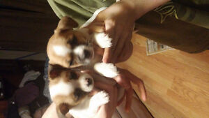 Pomeranian Mix Puppies