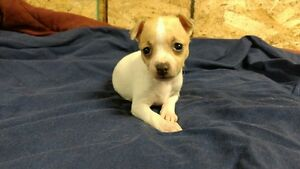 Toy Mini Rat Terriers for sale
