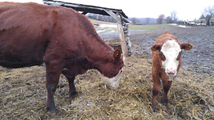 Hereford cow and calf