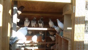 PIGEONS FOR SALE! $10 EACH! MANY BREEDS!